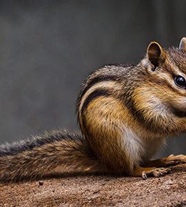 Squirrel Animal Removal
