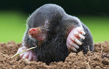 Mole Animal Removal