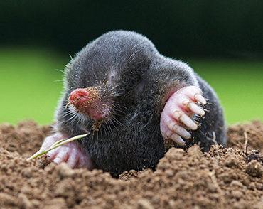 Mole Animal Removal