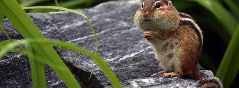 Chipmunk Animal Removal