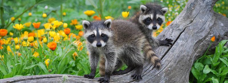 Raccoon Animal Removal