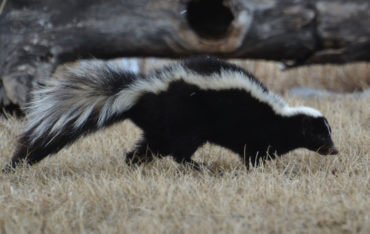 Skunk Animal Removal