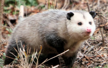 Opossum Animal Removal