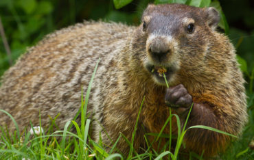 Ground Hog Animal Removal