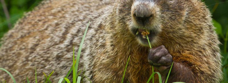 Ground Hog Animal Removal