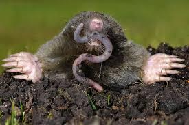 Moles Animal Removal