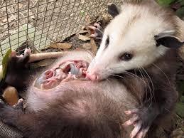 Opossum Animal Removal