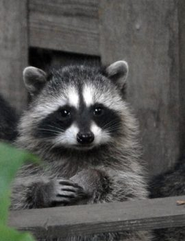 Raccoon Animal Removal